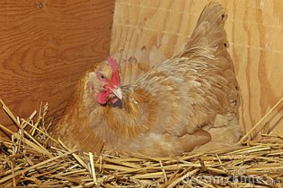 A hen on her nest